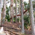 杉の木の山